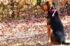 Bloodhound, 12 months, Black & Tan