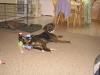 Bloodhound, 14 months, brindle