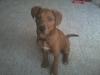 Bloodhound, 3 Months, Rust