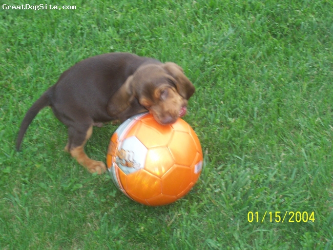 Bloodhound, 6weeks and 2days, liver and tan, duke plays soccer