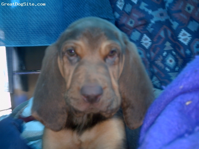 Bloodhound, 7 weeks, tan and liver, in the trailer