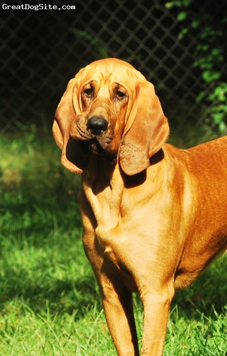 Bloodhound, 15 months, Red, Male Bloodhound!  Beautiful, sweet, and full and interesting characteristics.