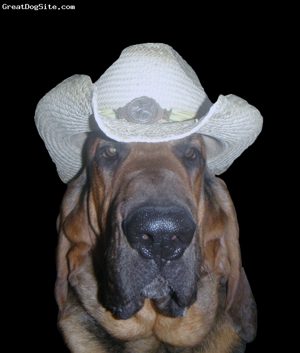 Bloodhound, 2yrs, BLACK AND TAN, Duke's gone country