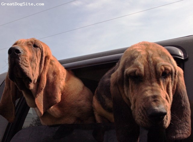 Bloodhound, 8 Months, Red, Black & Tan, Sibling Litter Mates Time for a Ride