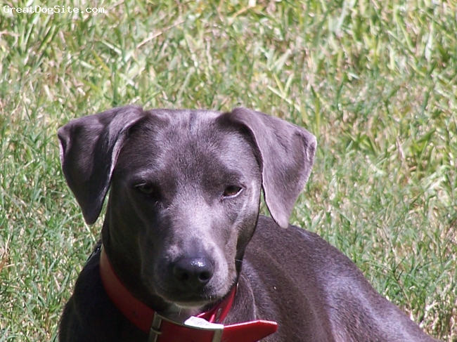 Blue Lacy, 4, Blue, This picture is copyrighted by the owner's Alex & Shannon Collier.