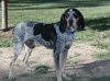 Bluetick Coonhound, 5, Tri