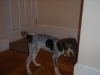 Bluetick Coonhound, 3 MONTHS, BLACK