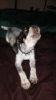 Bluetick Coonhound, 12 weeks, Tri-color