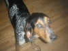Bluetick Coonhound, 2, tri