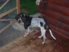 Bluetick Coonhound, 6 months, Mostly ticked,with black spots, trimmed in tan