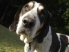 Bluetick Coonhound, 11, black and white with blue ticking
