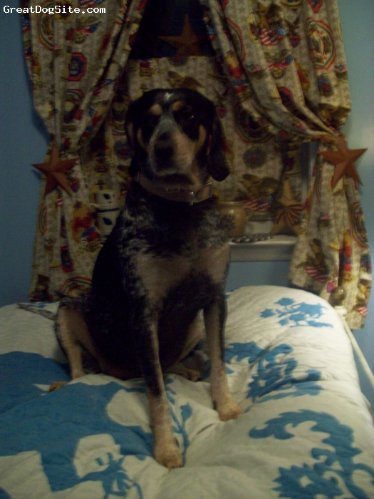 Bluetick Coonhound, 2 1/2, tri-color, Blue tick coonhound rescued from a kill pound in ohio.  Now is spoiled and living in pennsylvania.
