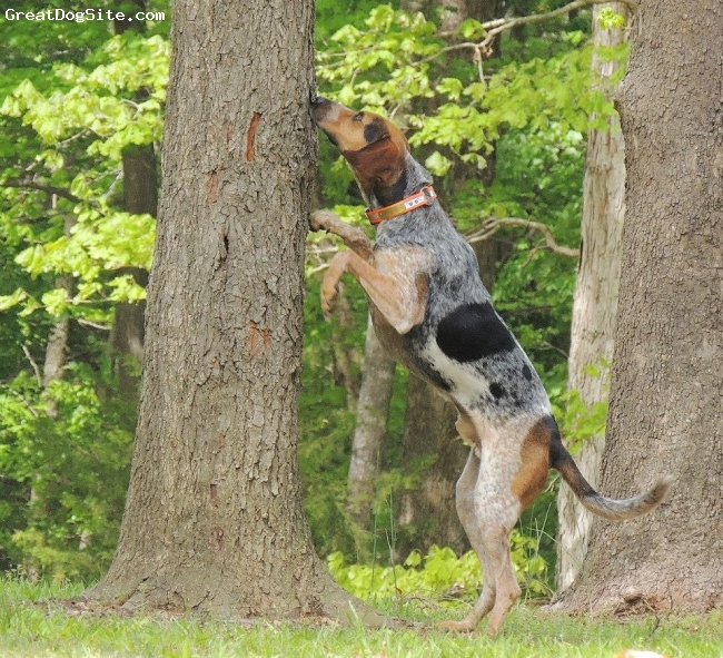 Bluetick Coonhound, 2, black/brown, He will tree a cat in a heart beat but no hunting if guns are involved. Hes a lover not a fighter!