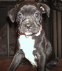 Bo-Dach, 7 weeks, Black/brindle/white