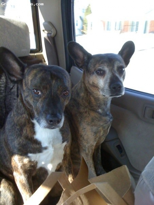 Bo-Dach, 9 years old, Brindle, Sisters from the same litter.  Mom was the dach and dad was the boston