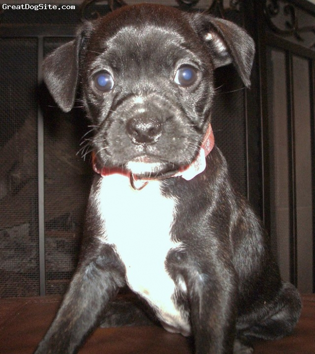 Bo-Dach, 7 weeks, Black/brindle/white, Most amazing dog in the world!