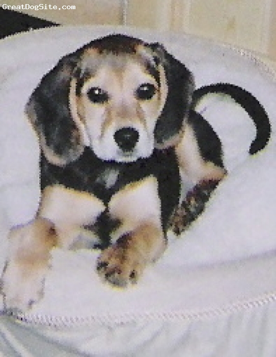Bocker, 8 weeks, Black, Brown and Beige, One parent was a Gold Cocker Spaniel and the other parent was a Beagle bred to be a Hybrid