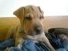 Boerboel, 2 months, Brown