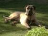 Boerboel, 8 months, silver