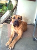 Boerboel, 21 MONTHS OLD, BROWN