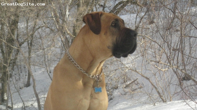 Boerboel, 4, Red Fawn, Run this winter in Provo Canyon Utah