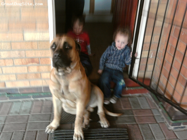 Boerboel, 1 year 4 months, brown, Lovely protective dog, very lovable!! Extremely loyal. Love kids.