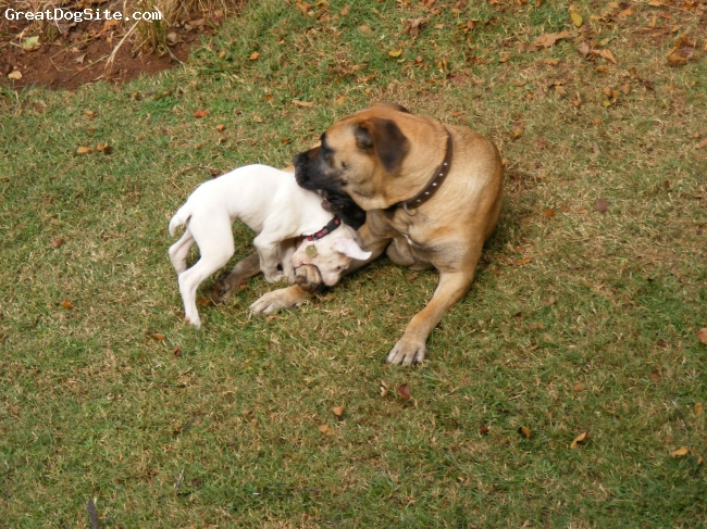 Boerboel, 6, Tan, One lovely girl. Loves being around people and even takes assaults from Bart, the deaf Boxer pup in her stride. She a great watch dog and we could never hope for a better pet