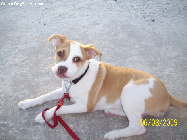 Bogle, 1 1/2 yrs. old, Tan and White, She is amazing! Super smart and fits the description of a bogle to a T.