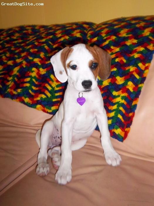 Bogle, 12 weeks, White/Brown, Snoopy is a sweet 12 week old Bogle puppy!