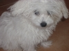 Bolognese, 7 months, white