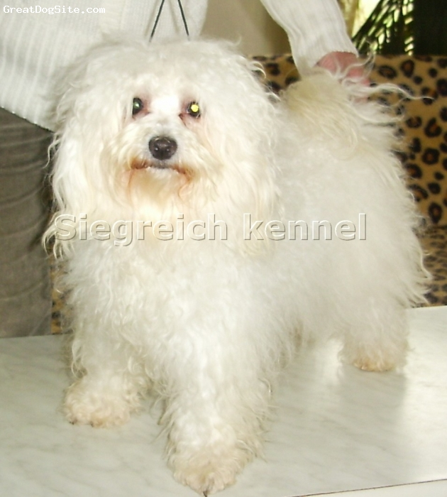 Bolognese, Six years old, Pure white, Six years old beautiful Bolognese female looking for new home/family.