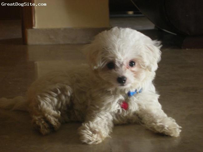 Bolognese, 3 μηνων, λευκο, πανεξυπνος και τρυφερός
