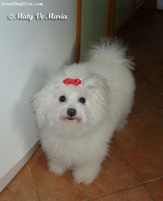 Bolognese, 3 years, white, Bolognese kennel Maty Ve Maria