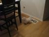 Bolonoodle, 5 months, white