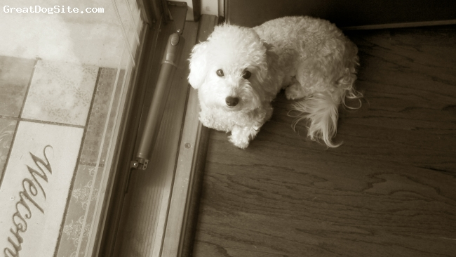 Bolonoodle, 2 years, White, half bolonese, half poodle
