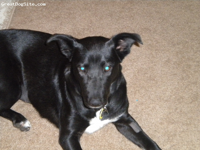 Borador, 8 months, black/white, Lucy is a sweet dog, very eager to please and learns quickly.  We have two small children she is protective and in love.  We love her very much and have decided a borador is the only type of dog we will ever have again!