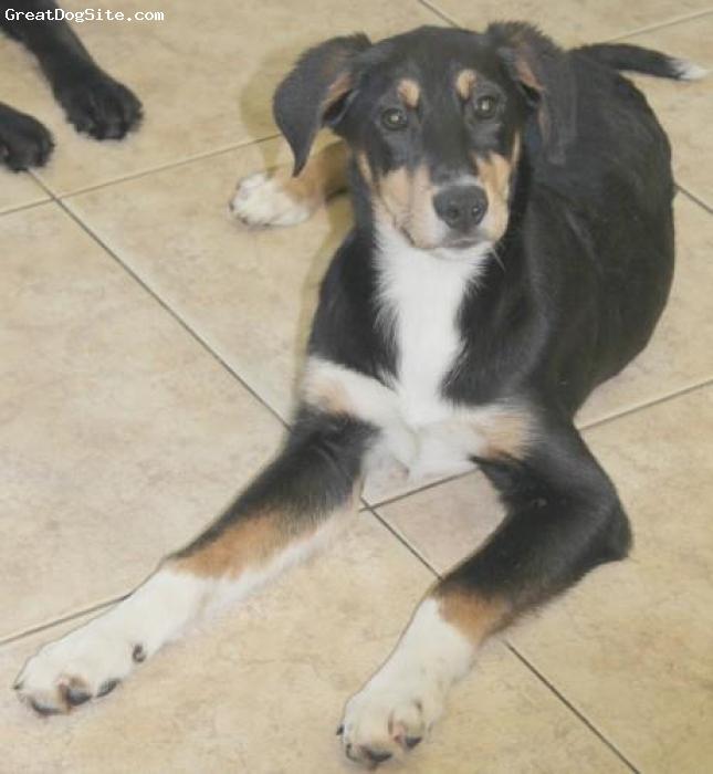 Borador, months, black, gold, white, Loving dog that we adopted...