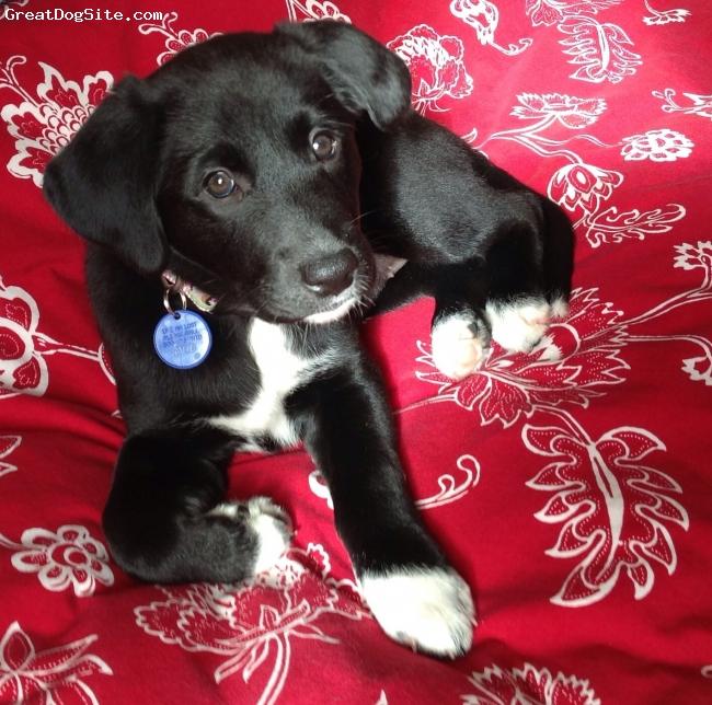 Borador, 1.5 years, Black/white, Baby Roxy at 10-12 weeks.