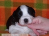 Border Collie, 2 - 3 weeks, Black/white