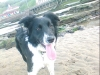 Border Collie, 6 mounth, Black and White.