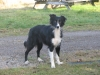 Border Collie, 7 years, black and white