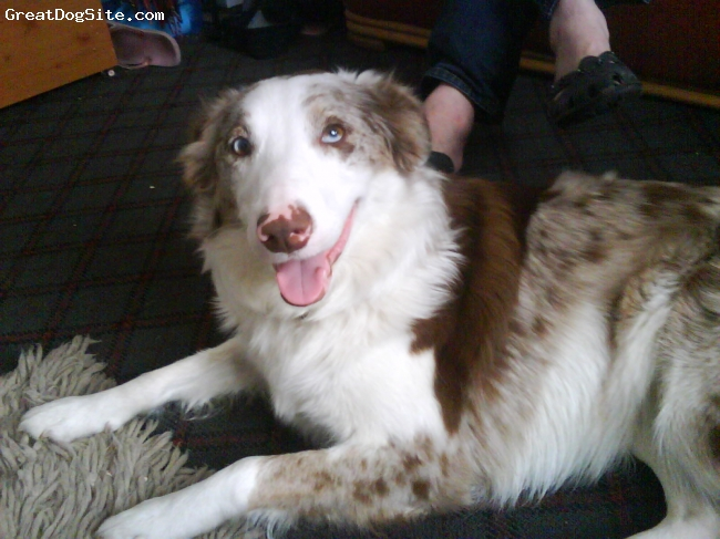 Border Collie, 19 months, Red Merle, Ruby is a beautiful Red Merle Border Collie