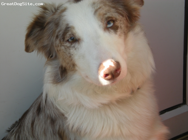 Border Collie, 19 months, Red Merle, Bit Of The Sun On Her Nose