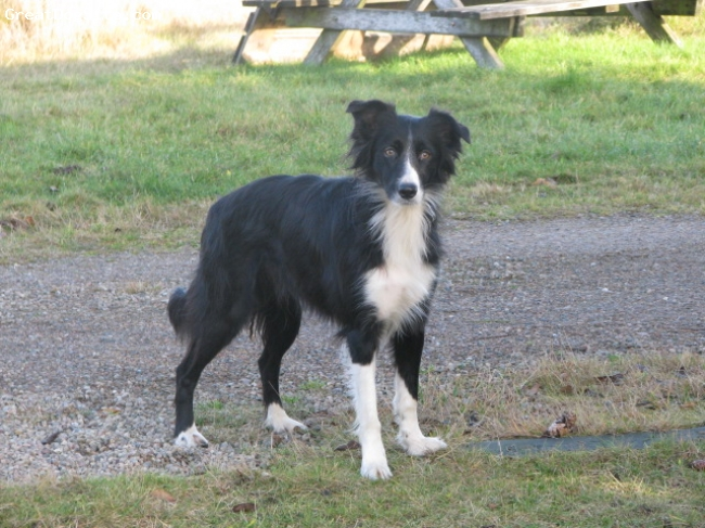 Border Collie, 7 years, black and white, beautiful