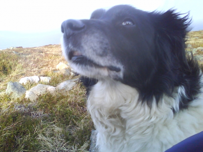 Border Collie, 11, black and white, Holly is a cross between a labrador and a collie