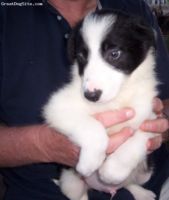Border Collie, DOB 5-30-2010, black and white, Black and White male border collie from working stock dogs.  He has shown signs he has eye and willingness to work.  Please contact us by phone for more information.