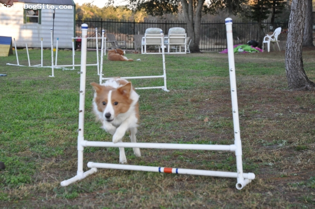 Border Collie, 8 Monthes Old, Australian Red, Tiki is a very enthusiastic, trainable, and energetic Border Collie pup. The jumps are set low due to open growth plates, but if she wants to, she can jump much higher than this. She is a very eager-to-please, and is also a sweetie.
