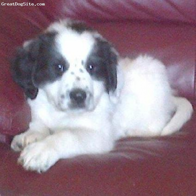 Border Collie, 9 weeks old, White and Black, Border Collie/Great Pyrenees cross. It will be interesting to see how big he gets. Very happy little guy. He adores his new friend, Jerry, a purebred shorthaired black and white Border Collie.