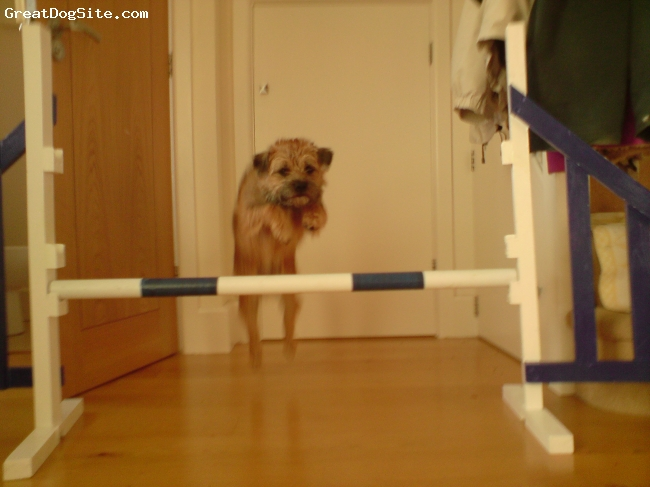 Border Terrier, 2, grizzle, She is really cute isn't she?