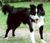 Border-Aussie, 6, Black & White with red highlights